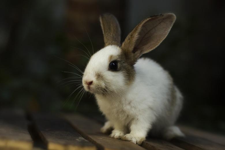 rabbit-3616436_960_720